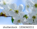 flowers of the cherry blossoms... | Shutterstock . vector #1336363211