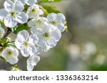 flowers of the cherry blossoms... | Shutterstock . vector #1336363214