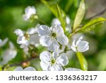 flowers of the cherry blossoms... | Shutterstock . vector #1336363217