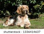 English Setter Dog Lying On Th...