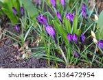 blooming spring flower crocus...   Shutterstock . vector #1336472954
