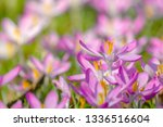 close up of pink crocuses on a...   Shutterstock . vector #1336516604