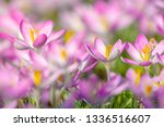 close up of pink crocuses on a...   Shutterstock . vector #1336516607