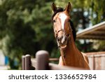 Stock photo portrait beautiful horse looking at the camera 1336652984