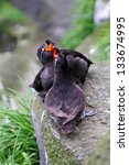Small photo of the Crested Auklet (Aethia cristatella) Commander islands