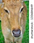 Deer (brow-antlered) - stock photo