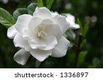 Gardenia Bloom Against The Dar...
