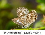 Speckled Line Blue Catopyrops...