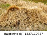 Small photo of A stook of barely piled together for harvest