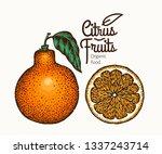 tangelo fruit illustration.... | Shutterstock .eps vector #1337243714