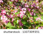 blooming apple orchard. pink... | Shutterstock . vector #1337309351