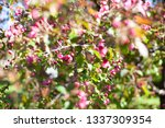 blooming apple orchard. pink... | Shutterstock . vector #1337309354