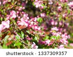 blooming apple orchard. pink... | Shutterstock . vector #1337309357