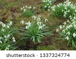 galanthus nivalis  the snowdrop ... | Shutterstock . vector #1337324774