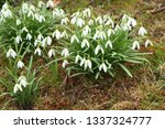 galanthus nivalis  the snowdrop ... | Shutterstock . vector #1337324777