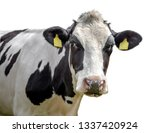 Cow On A White Background...