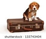 Stock photo cute beagle puppy sitting on the old suitcase 133743404