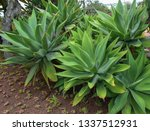 agave attenuata is a species of ... | Shutterstock . vector #1337512931