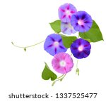 Ipomoea  Morning Glory Flowers...
