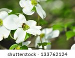 White Blossom With Bee