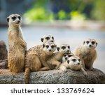 Family Of Meerkats