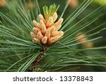 New pine cone sprout on branch of Eastern White Pine tree.   Macro with shallow dof - stock photo