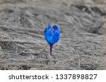 Purple Crocus Flower Close Up ...