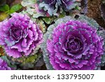 Purple Cabbage Crops At Field