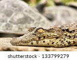 Baby Crocodile   Closeup. Shot...
