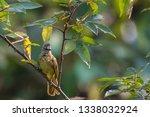 a flavescent bulbul on branch... | Shutterstock . vector #1338032924