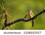 a flavescent bulbul on branch... | Shutterstock . vector #1338032927