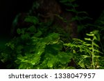 Stock photo bigfoot peeking through foliage on a black background with colored gels 1338047957