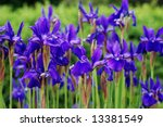 Purple irises at the edge of a meadow.  Shallow dof with selective focus on the two nearest flowers. - stock photo