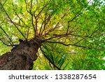 resak tembaga tree and branches ... | Shutterstock . vector #1338287654