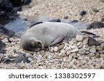 Hawaiian Monk Seal Sleeping On...