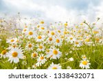 Field Daisies In The Meadow In...