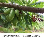 thai fruits that are very sour | Shutterstock . vector #1338522047