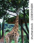 giraffe or zarafah  scientific... | Shutterstock . vector #1338545684