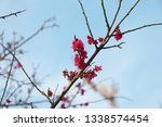 pink plum blossoms blooming in... | Shutterstock . vector #1338574454