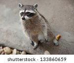Raccoon Standing On Its Hind...