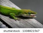 Green Carolina Anole Closeup
