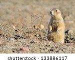 Black Tailed Prairie Dog...