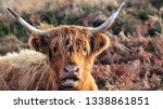 hardy scottish highland cows... | Shutterstock . vector #1338861851