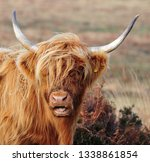 hardy scottish highland cows... | Shutterstock . vector #1338861854
