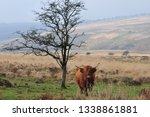 hardy scottish highland cows... | Shutterstock . vector #1338861881