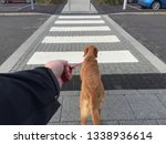 Stock photo a point of view image of a pet dog or labrador dog pulling hard on a leash with its owner holding 1338936614