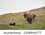 mother sheep with lambs of...   Shutterstock . vector #1338944177
