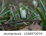 snowdrops. beautiful snowdrops... | Shutterstock . vector #1338972074