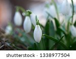 snowdrop with dew drop macro... | Shutterstock . vector #1338977504