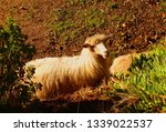 the golden fleece | Shutterstock . vector #1339022537